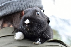 A little cute black bunny, rodent, gnawer, pet, friendship, young animal, boy, children, kid, white muzzle, black rabbit, sitting on shoulder, head, hair, care, paws, ears, holding in the arms, dwarf
