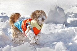 A little dog is playing in the snow, the father is a toypoodle, the mother a bolonka zwetna