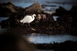 A little egret bird stalking a rockpool