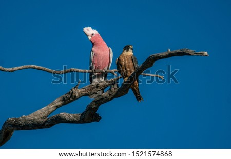 A Little Falcon or Hobby perched on a tree branch against a clear blue sky along with a Galah which is trying to intimidate it.    The Falcon appears not to be fazed by the Galah's actions Foto stock ©