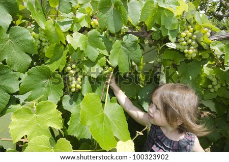 A little girl eats green grapes in a wine Vineyard in the Spring.
