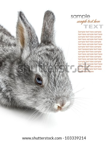 A little gray bunny on white background