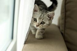 a little kitten peeking from behind the curtain