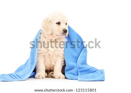 A little labrador retriever dog covered with blue towel isolated on white background