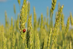 a little ladybug flies across a field of ears