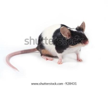 un pequeño ratón en el fondo blanco