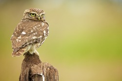 A little owl on an old post looking over his shoulder