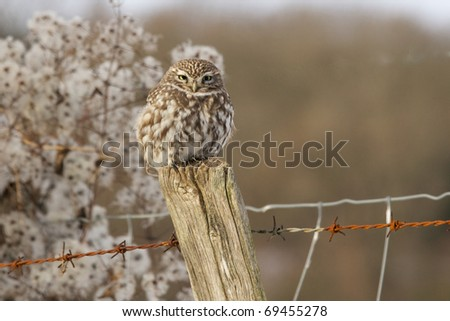 A little owl perched on a fence post in winter