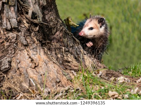 A little possum peeps around a tree trunk.