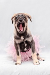 A little puppy in a pink skirt sings a song, opening her mouth wide. Her skirt is very fluffy, like a ballet tutu.
