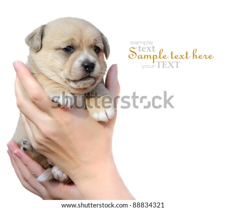 A little puppy is in hands on a white background