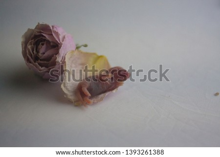 a little rat in a rosebud. the newborn mouse is small on a petal . symbol of Chinese new year 2020 #1393261388