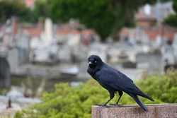 A little raven perched atop a grave in a cemetery, staring into the foreground