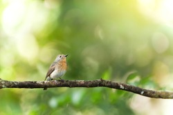 A little Red-throated Flycatcher is perching on the branch isolated on blurred green forest in the background. Bird migration. Nam Nao National Park, Thailand. Focus on birds eye.