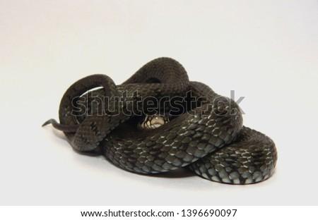 a little snake - grass snake