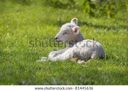 A little spring lamb - stock photo