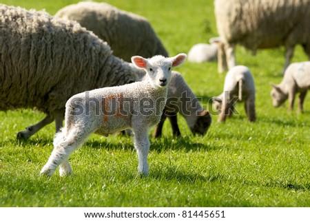 A little spring lamb