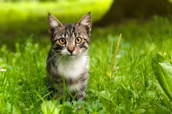 A little striped curious kitten is looking at the camera. Selective focus on the eyes.