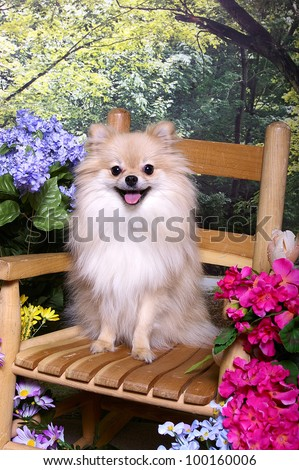A Little tan pomeranian dog sits on a wooden chair in a flower garden