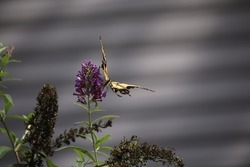 A Little Tattered Swallowtail Butterfly wins a meal at the local Butterfly Bush