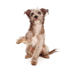 A little terrier mixed breed puppy dog raising a paw to shake with a cute expression on his face