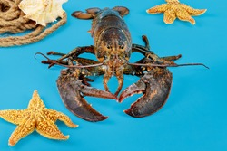 A live wild caught lobster with starfish on blue background.