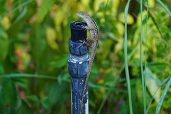 A lizard climbs a raised sprinkler pole
