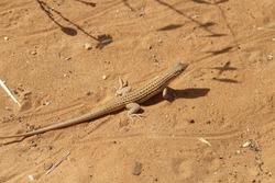 A lizard in a huge desert is looking for prey
