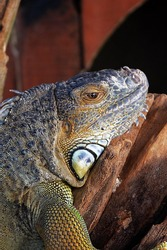 A lizard is a type of reptile that has scales for skin, a long body, a pointy tail, and usually four legs.