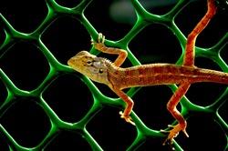 A Lizard on a Fence