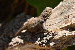 A lizard perches on a branch alongside a trail in State Park of Big Sur, California.