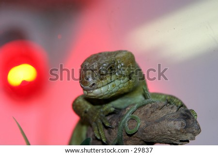 a lizard sits on a branch watching the world go by with the background out of focus and a bright orange red and yellow heat lamp in back