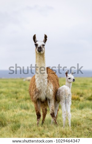 A llama and her baby in the Altiplano in Bolivia #1029464347