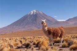 A Llama (Lama glama) and Licancabur Volcano in Bolivia - Chile Border