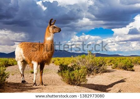 A Llama (Lama glama) at the Andes Mountains. At background Cloudy Sky. Llamas are Domesticated South American Camelids #1382973080