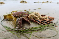 A Lobster Carapace Molt on a California Sandy Beach After Waves and Tides Washed it on Shore