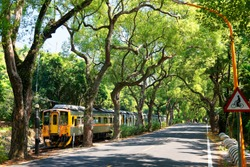 A local train traveling on Jiji Railway Line by a highway under an archway of old giant camphor trees with sunlight shining thru the lush greenery and casting shadows on the ground, in Nantou, Taiwan