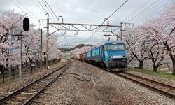 A local train traveling on rail tracks with flourishing sakura cherry blossoms lining up along the railway ~ Spring scenery of sakura namiki along railroad at JR Katsunuma Station in Yamanashi Japan