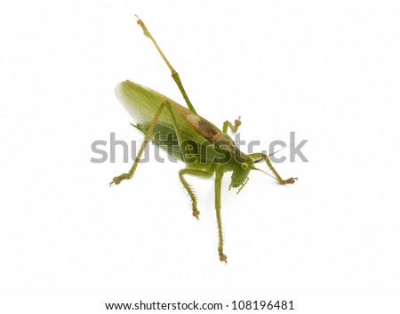 a locust isolated - stock photo