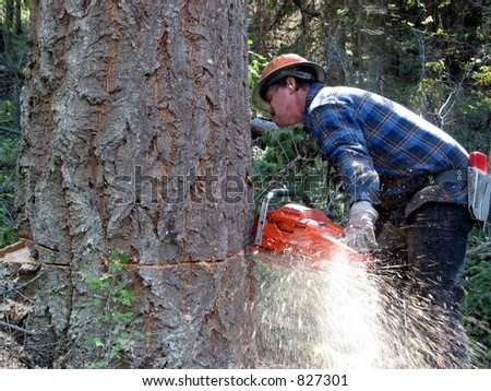 stock photo : A logger is cutting down a large Fir tree using a chainsaw