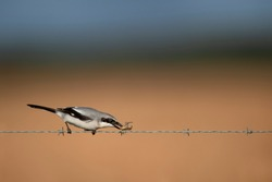 A Loggerhead Shrike placing a grasshopper on a barbed wire fence in the bright sunlight with a smooth brown, green and blue background.