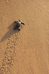 A Loggerhead Turtle (Caretta caretta) hatchling cralwing to the ocean. Image showing tracks left in the sand.