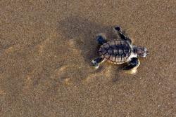 A Loggerhead Turtle (Caretta caretta) hatchling cralwing to the sea.Mon Repos BeachQueenslandAustralia