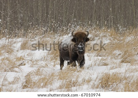 A lone American Bison (Bison bison) from Elk Island National park in Alberta Canada
