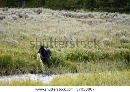 A lone black wolf pulls a carcass out of a river in Yellowstone National Park.