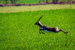 A lone Blackbuck being chased by feral dogs, in lush green farmland of central India.