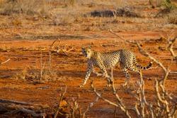 A lone cheetah walks across the savannah in search of prey. Kenya. August 2017.