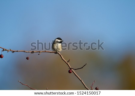 A lone Chickadee perched on an empty tree branch.