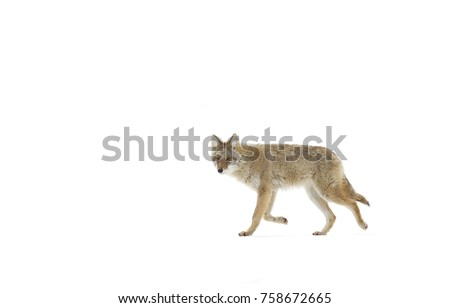 A lone coyote Canis latrans isolated on white background walking and hunting in the winter snow in Canada