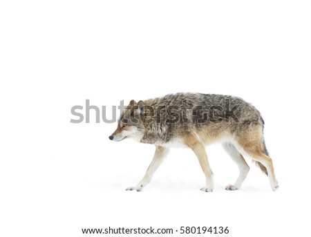 A lone coyote Canis latrans isolated on white background walking and hunting through the snow in Canada